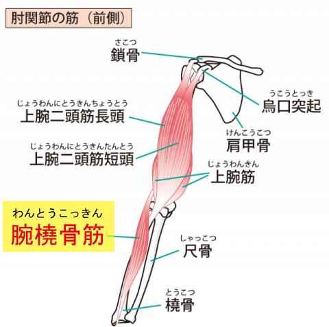 腕橈骨筋(わんとうこつきん)の画像